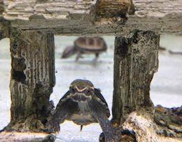 ミシシッピニオイガメ 餌