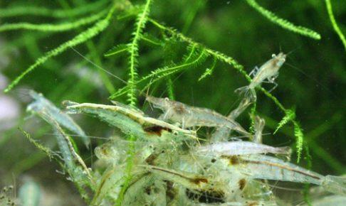 ミナミヌマエビの飼育と繁殖
